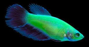 GloFish Betta New