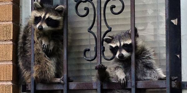raccoons removed from window