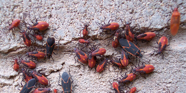 box elder bug control