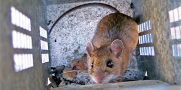 mice, mouse, mouse control, mice exterminator