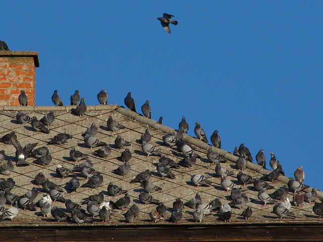 Pigeon Control Is Needed! Professional Pigeon Removal Is Available Now.
