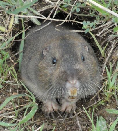 Professional Gopher Control will remove Pocket Gophers like this