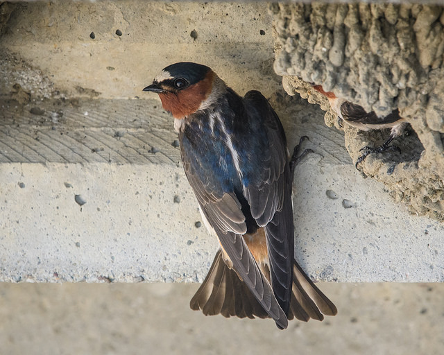 Cliff Swallow perched outside its nest, bird control, swallow control