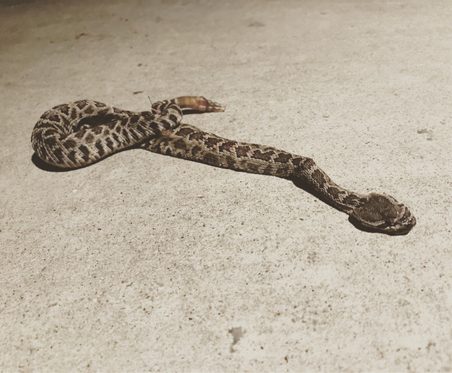 dead snake in home