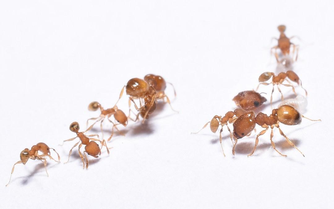 Pick-A-Pest: ANTS