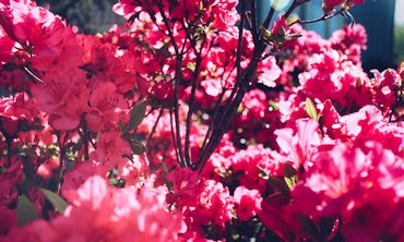 Azalea shrub pruning