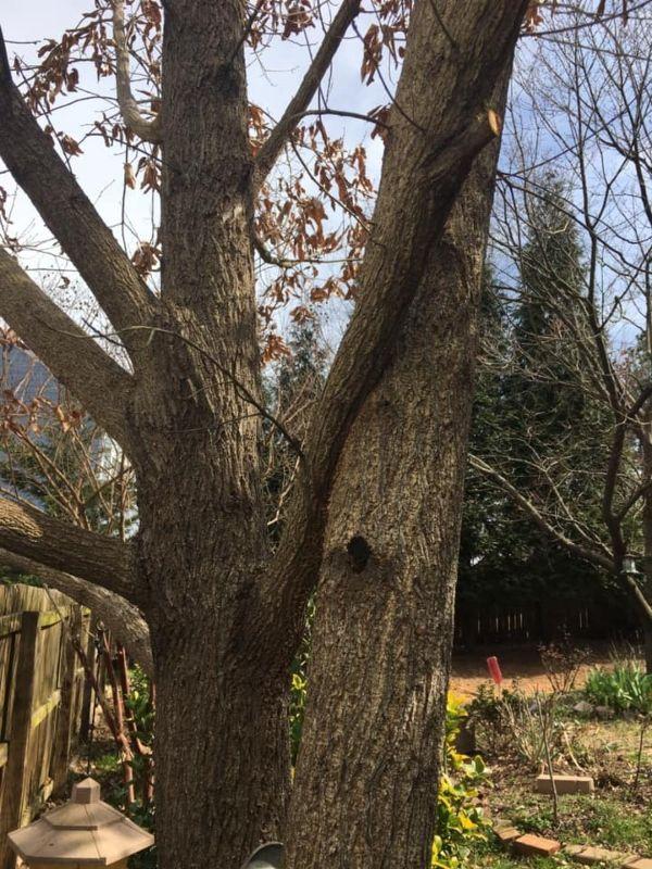 Branch crossing on mature tree