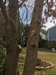 Branch crossing on mature tree after pruning