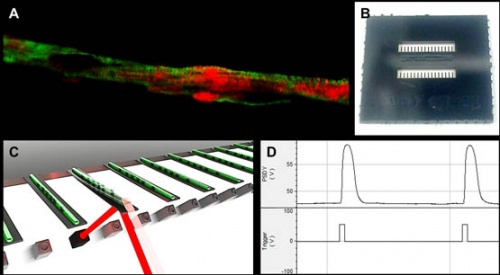 Correlation of embryonic skeletal muscle myotube physical characteristics with contractile force generation on an atomic force microscope-based bio-microelectromechanical systems device copy