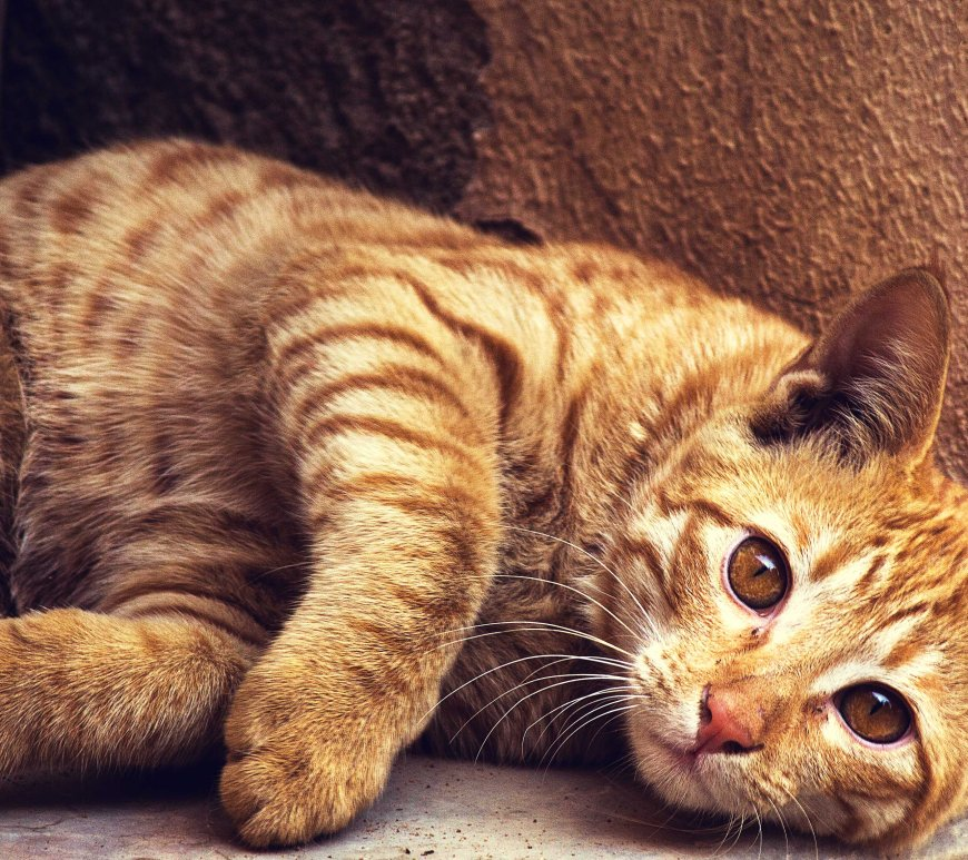 Cat laying down