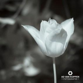 Zwart-wit foto van tulp met zachte witte tinten.