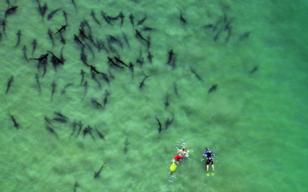 Leopard sharks gather along the La Jolla Shores in California. Photo by San Diego Tourism