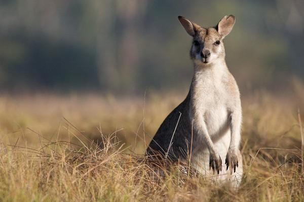 Walking tours in Australia - Kangaroo Australian Walk