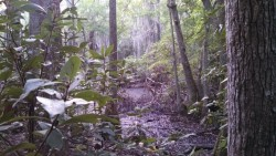 Bald_Cypress_swamp_and_Spanish_Moss