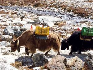 Yaks along the Khumbu Glacier