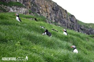 Field of Puffins