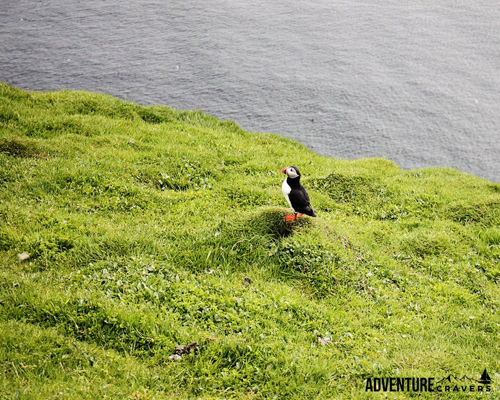 Solo Puffin on the island of Mykines in the Faroe Islands