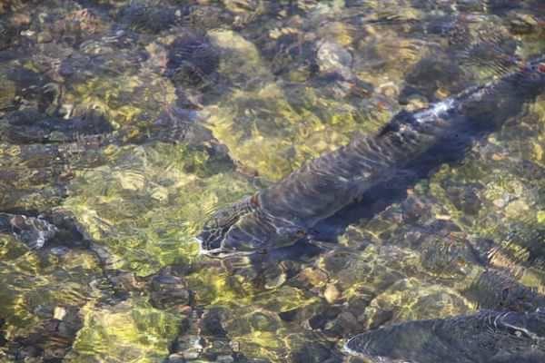 鮭の遡上写真