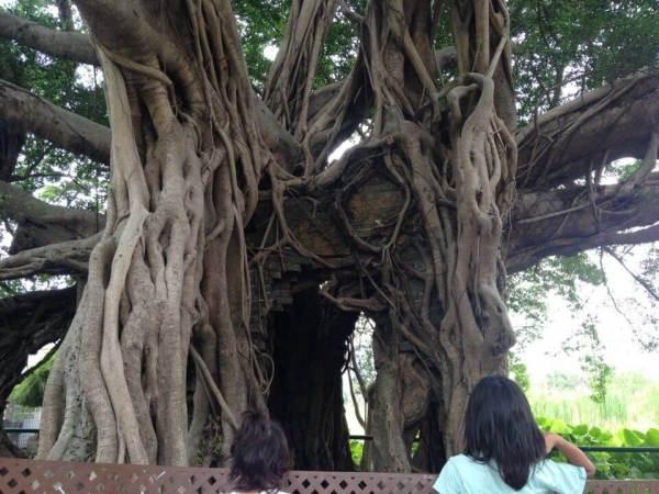 家を飲み込んだ木の写真