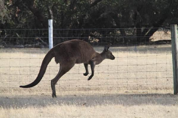 ジャンプするカンガルーの写真