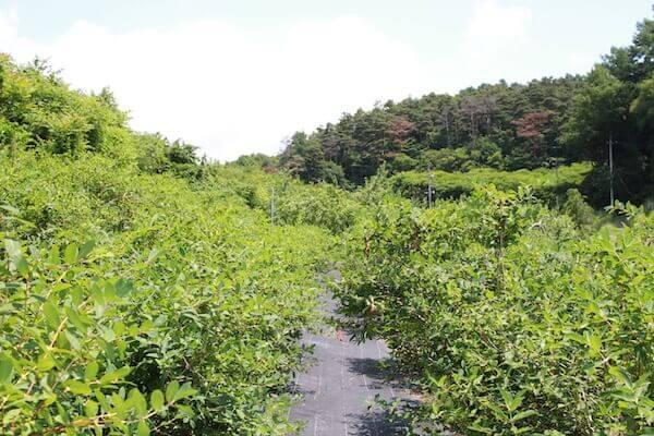 ハスカップの果樹園の通路写真