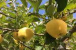 長野のりんご狩りアイキャッチ画像
