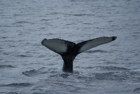 Humpback Whale going for a dive.