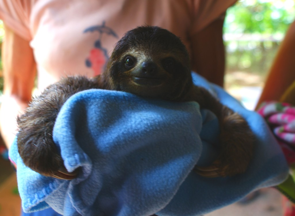 Rescued baby sloth