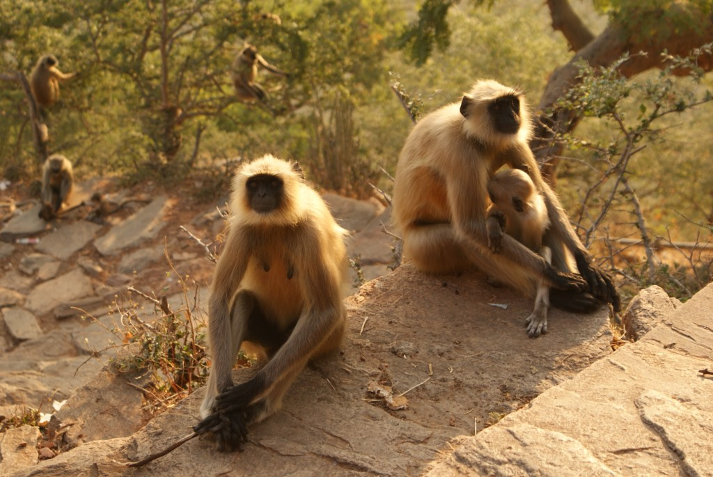 Long-tailed monkeys in India