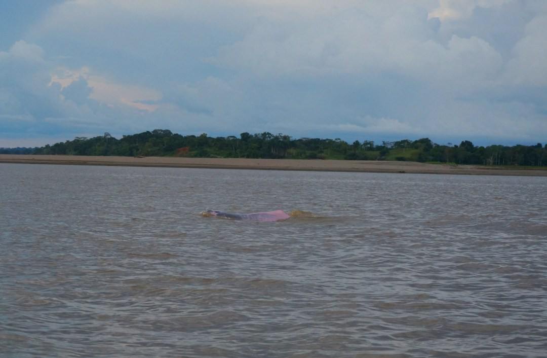 Pink dolphin breaking the surface.