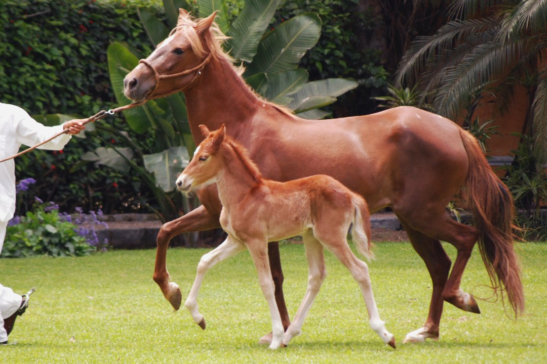 Peruvian Paso with foal