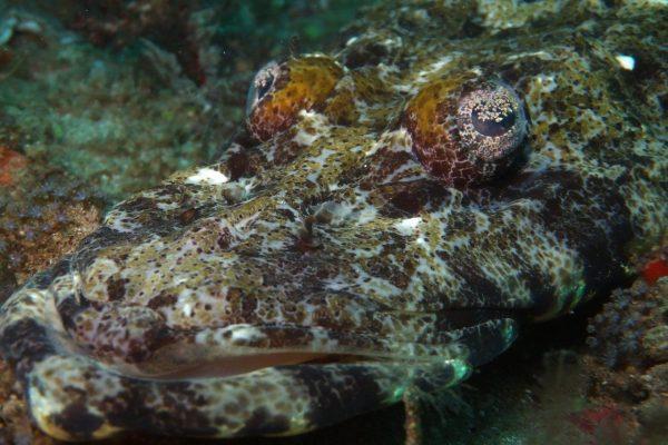 Long Head Flat Head - AKA crocodile fish (2)