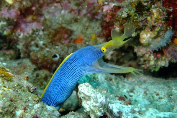 Ribbon Eel - Hopscotch is one of the only 2 divesites where you can spot them on 2mile reef
