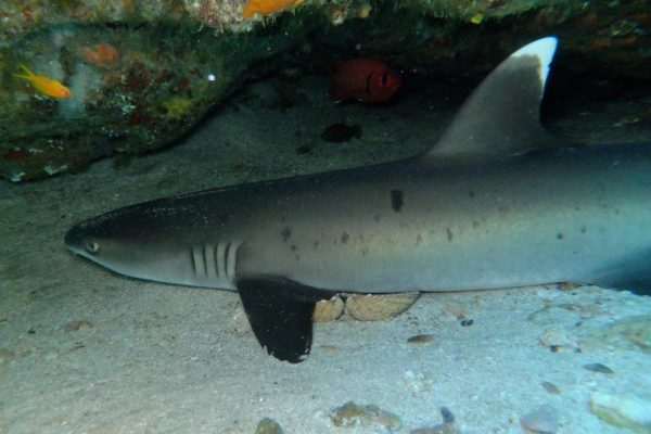 White tip reef shark taking a little nap in his cave
