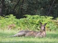 Male kangaroo lying down