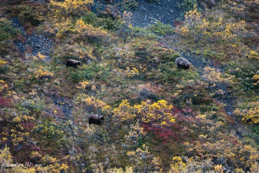 Mother Grizzly bear and cubs foraging in the tundra, Denali National Park