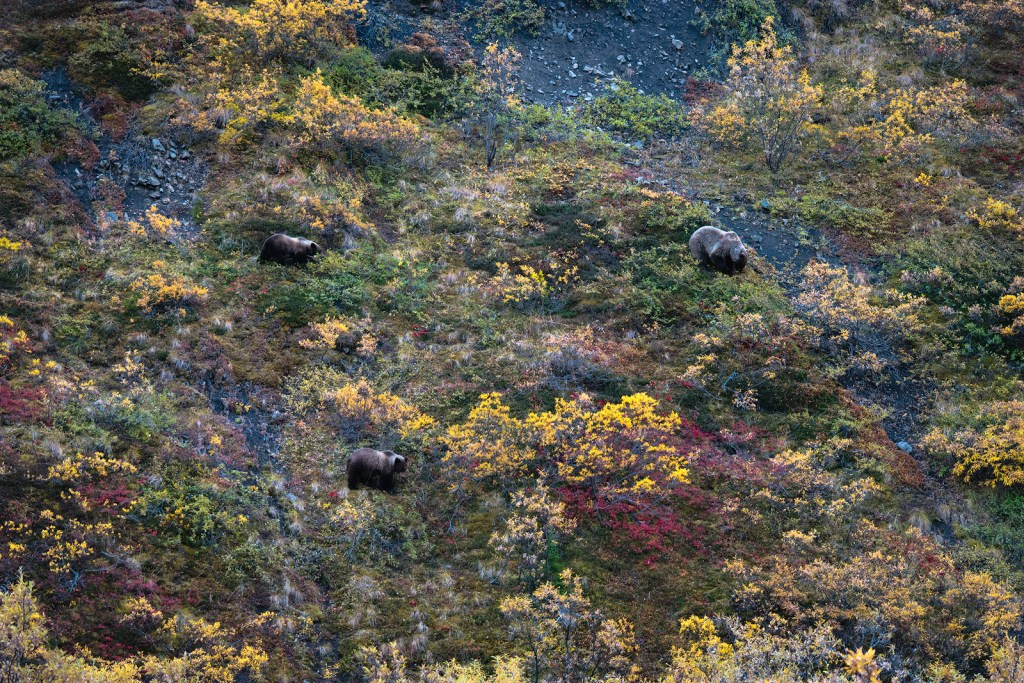 Mother Grizzly and cubs foraging