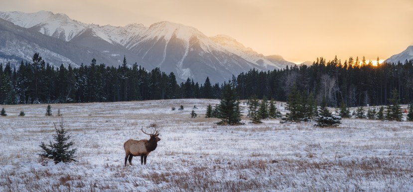 Elk in autumn, Banff National Park