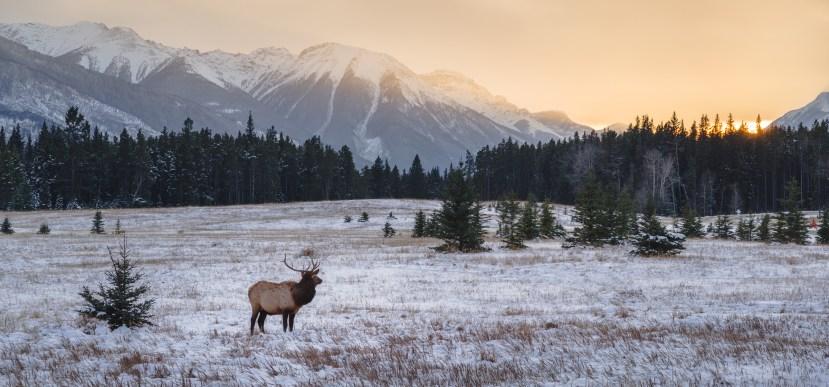 Elk in autumn, Banff National Park
