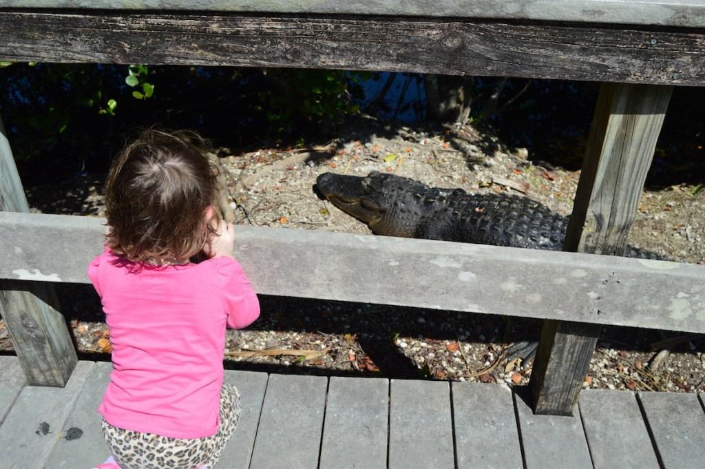 Alligator on Anhinga Trail