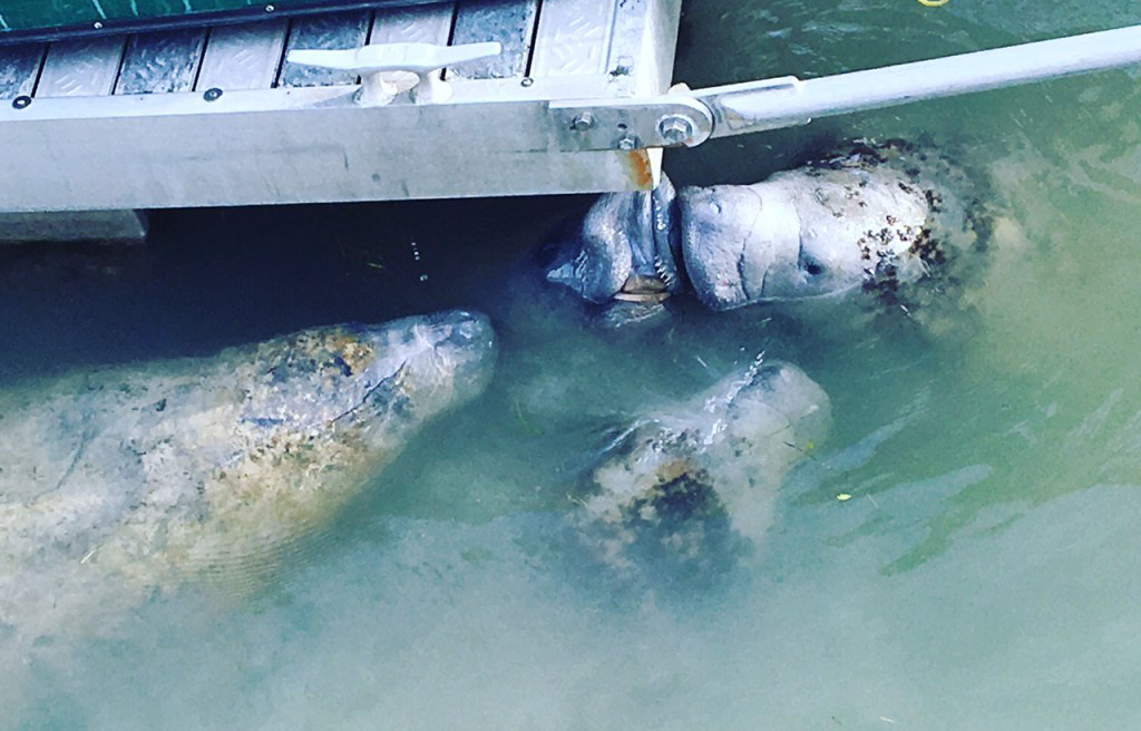 Manatees converge on the aerated water streaming from the dock.