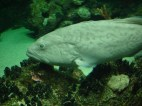 Not sure which species this is, and not clear from the aquarium's website.