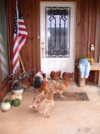 The chickens waiting for us at the front door of the house when we returned. Boy, it looks country, doesn't it?
