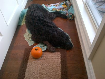 A tiny orange pumpkin sits beside a big black dog laying on the ground.
