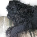 A black shaggy dog sleeps with his head propped up against a wall.