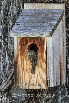 House Wren at Nest Box 0109W8WM