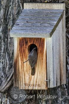 House Wren at Nest Box 0113W8WM