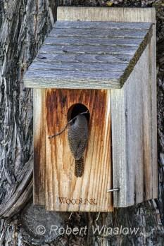 House Wren at Nest Box 0114W8WM