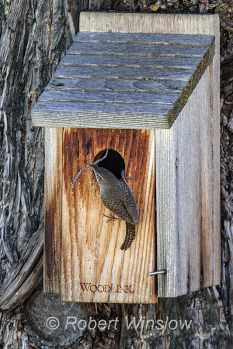House Wren at Nest Box 0228W8WM
