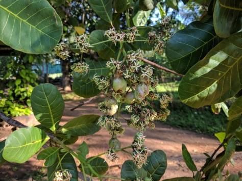 Zo zien cashew noten eruit voor ze in mijn buik belanden